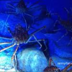 Spider Crab, gede banget